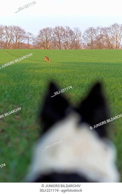 European Roe Deer (Capreolus capreolus). Border Collie watching buck in a field. Germany