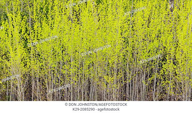 A woodlot of aspen trees with early spring foliage near a pasture, Manitoulin Island- Kagawong, Ontario, Canada