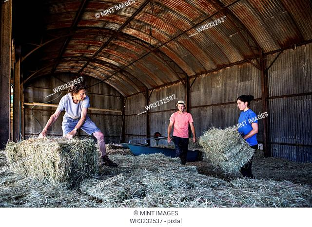 Three farmers stacking hay bales in a barn