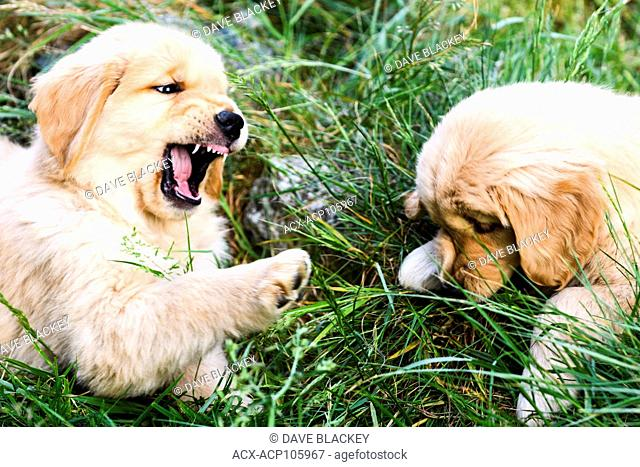 Two 8 week old Golden Retriever puppies playing