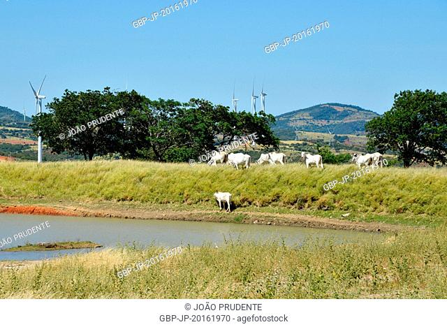 Nellore breed of cattle, with emphasis on wind turbines in the countryside, Guanambi, Bahia, Brazil, 03.2016
