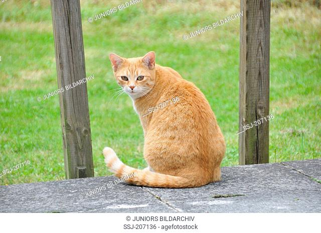 Domestic Cat. Red tabby adult sitting while looking back. Germany