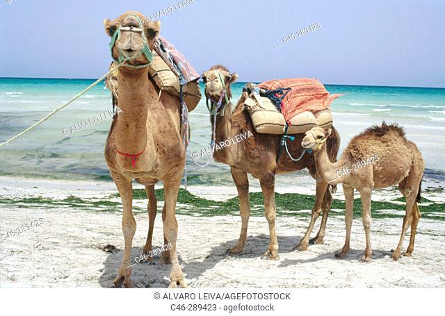 Camels on the beach. Sidi Mahres. Jerba. Tunisia