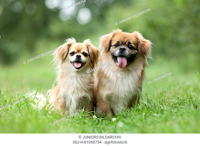 Tibetan Spaniel. Two adult dogs sitting on grass. Germany