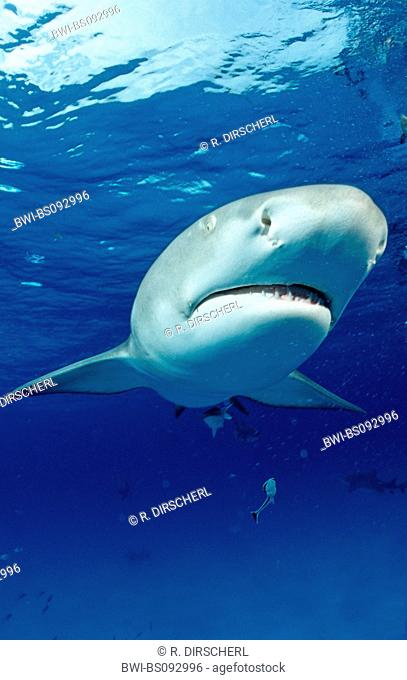 lemon shark (Negaprion brevirostris), head of a single animal, The Bahamas, Grand Bahama Island, Atlantic Ocean
