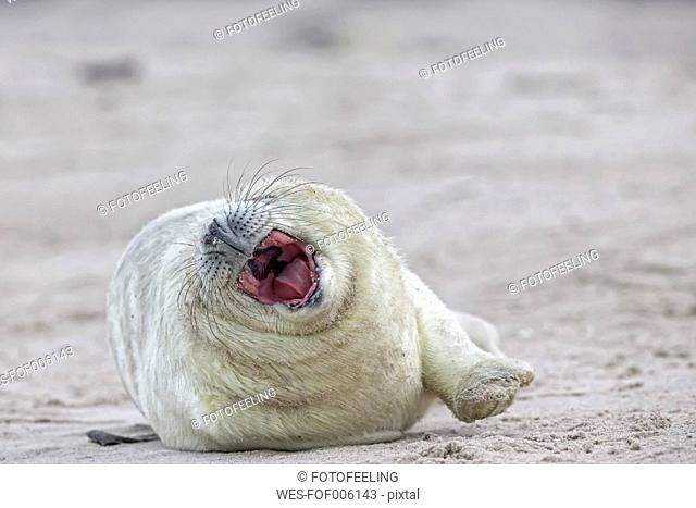 Germany, Schleswig-Holstein, Helgoland, Duene Island, grey seal pup (Halichoerus grypus) with mouth wide open lying on the beach