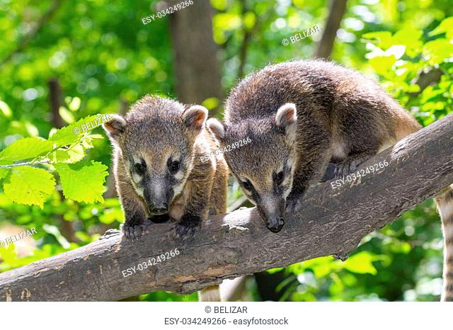 South American coati (Nasua nasua) baby is climbing on a tree