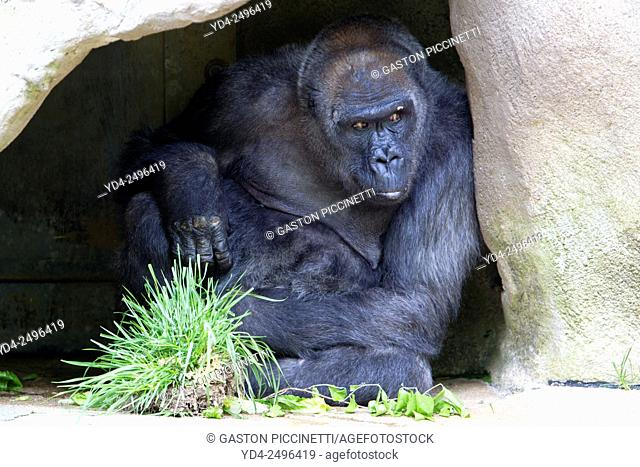 Western Lowland Gorilla (Gorilla gorilla gorilla), Cincinnati Zoo, Ohio, USA