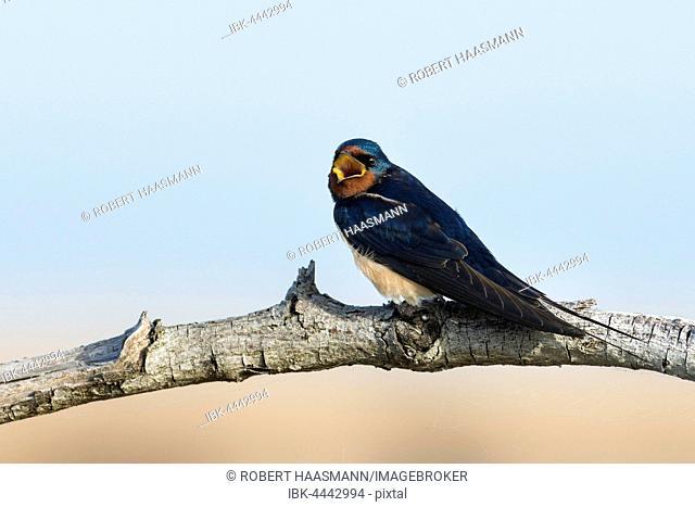 Barn swallow (Hirundo rustica) sitting on tree branch, Neusiedler See-Seewinkel National Park, Burgenland, Austria