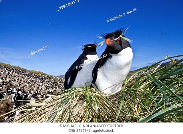 Adult rockhopper penguin Eudyptes chrysocome chrysocome at breeding and molting colony on New Island in the Falkland Islands