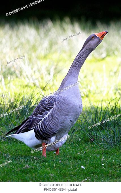 France, Burgundy, Yonne. Area of Saint Fargeau and Boutissaint. Farmed goose in a farm