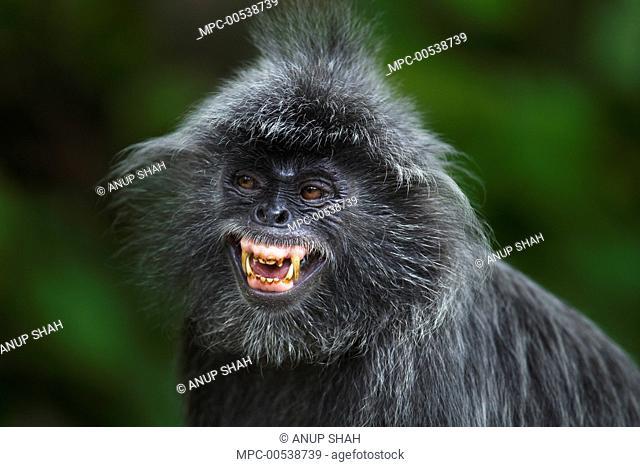 Silvered Leaf Monkey (Trachypithecus cristatus) male calling, Bako National Park, Sarawak, Borneo, Malaysia