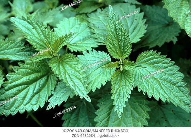 Brennnessel, Urtica Dioica, Grosse Brennnessel, Heilpflanzen