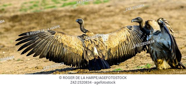 White-backed Vulture (Gyps africanus) or African White-backed Vulture spreading their wings. Timbavati Game Reserve. Limpopo Province. South Africa