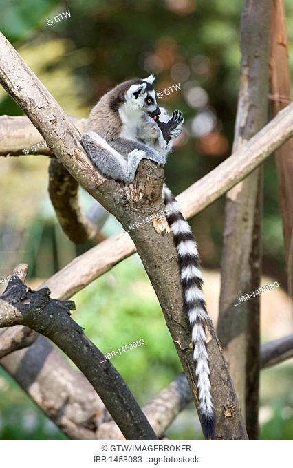 Ring-tailed Lemur (Lemur catta) in a tree, Near Threatened, Madagascar, Africa