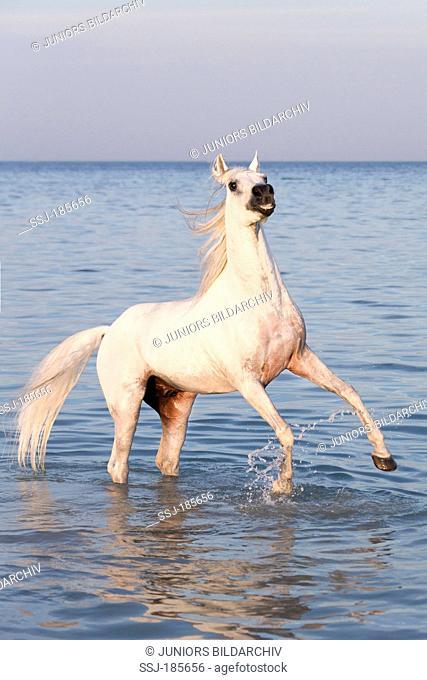 Arabian Horse. Gray stallion rearing in shallow water. Egypt
