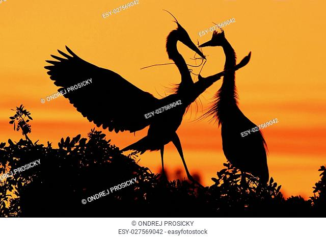 Two herons. Love on the tree with orange sunset