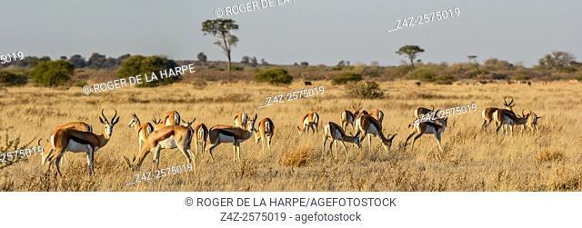 Springbok (Antidorcas marsupialis). Central Kalahari Game Reserve. Botswana