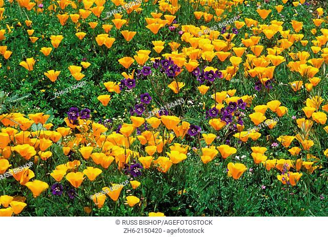 California Poppies (Eschscholtzia californica) and Wild Blue Flax (Linum perenne), Santa Monica Mountains National Recreation Area, California USA
