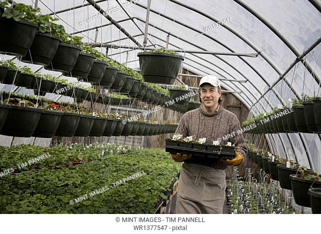 Spring growth in an organic plant nursery glasshouse. A man holding trays of young plants and seedlings