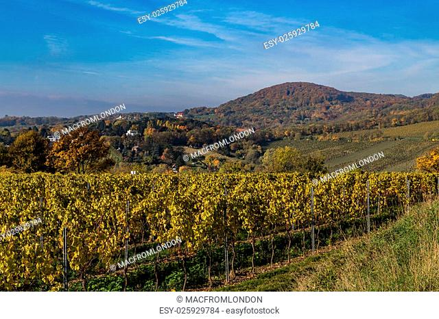 Colourful leaves on Vineyard Plantations in Austria during the Autumn. Hills can be seen in the distance