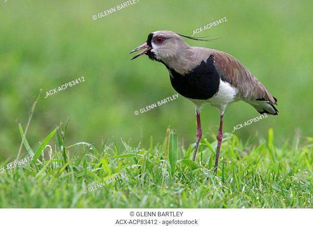 Southern Lapwing (Vanellus chilensis) on the ground in the Atlantic rainforest of southeast Brazil