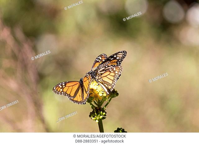 Central America, Mexico, State of Michoacan, Angangueo, Reserve of the Biosfera Monarca El Rosario, monarch butterfly (Danaus plexippus), Foraging on flowers