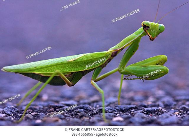 A green praying mantis with some kind of disease