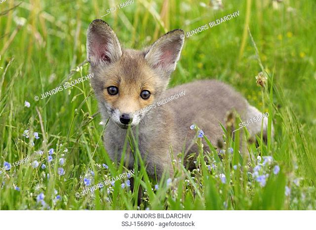 young Red Fox - standing in the meadow / Vulpes Vulpes