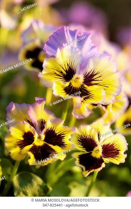 Pansy Flower Trio. Viola x wittrockiana