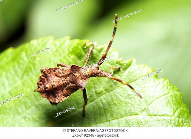 Dorsal view of Dock Bug nymph (Coreus marginatus) - Italy