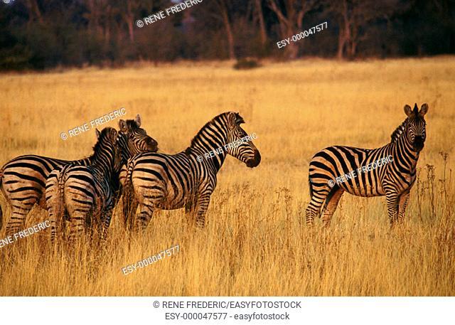 Burchell's zebra (Equus burchelli). Moremi Reserve. Botswana
