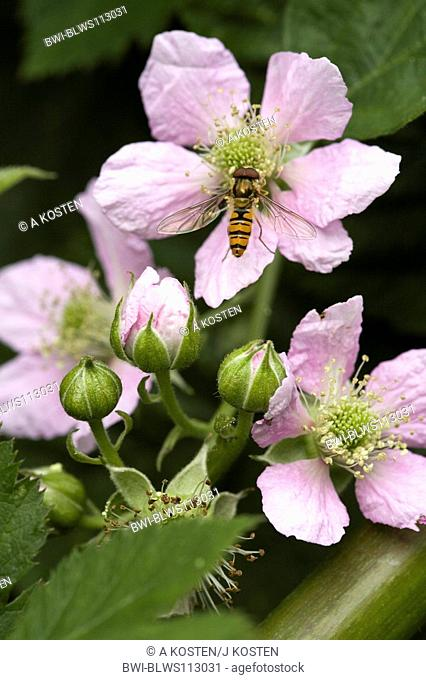 shrubby blackberry Rubus fruticosus, flowers with hover fly, Germany