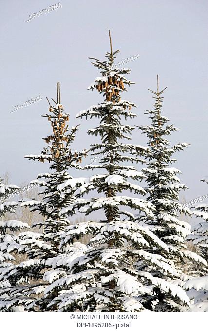 snow covered evergreen trees, calgary, alberta, canada