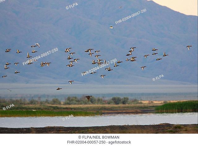 Red-crested Pochard Netta rufina flock, in flight over lake habitat, Lake Alakol, Kazakhstan, june