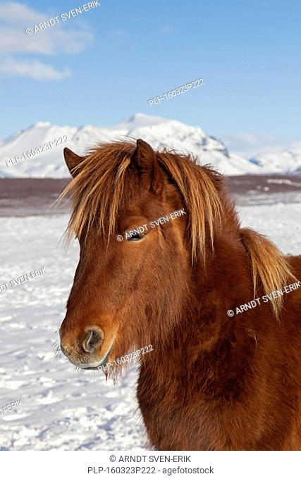 Icelandic horse (Equus ferus caballus / Equus Scandinavicus) close up portrait in heavy winter coat on Iceland