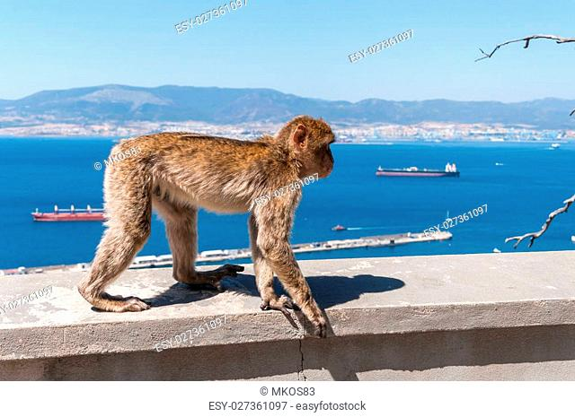 Barbary macaque monkey in Gibraltar on a wall