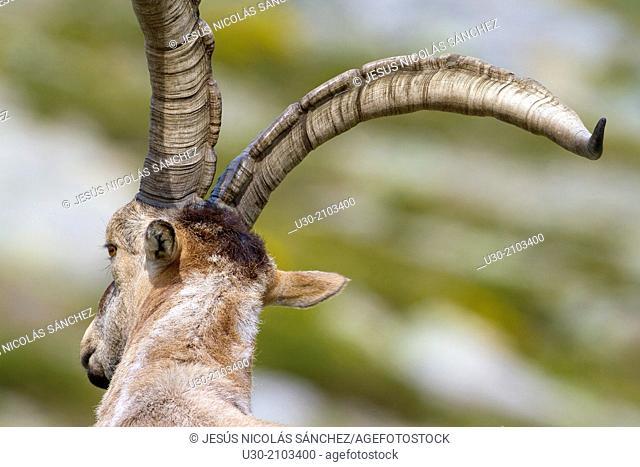 Old male of wild goat Capra pyrenaica in Sierra de Gredos Regional Park, Ávila. Castilla y León, Spain