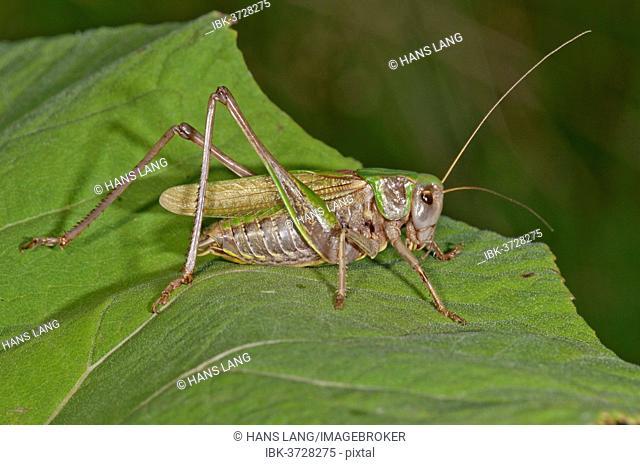 Wart-biter Cricket (Decticus verrucivorus) on the leaf of a Butterbur, Kampen, Vorarlberg, Austria