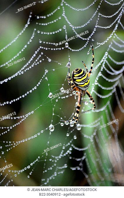 Spider web, yellow and black, argiope frelon, argiope bruennichi