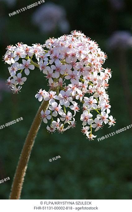 Umbrella Plant Darmera peltata flowering in garden, Yorkshire, England, may