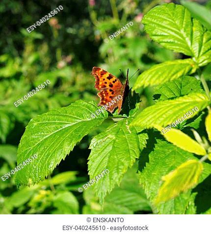butterfly rash