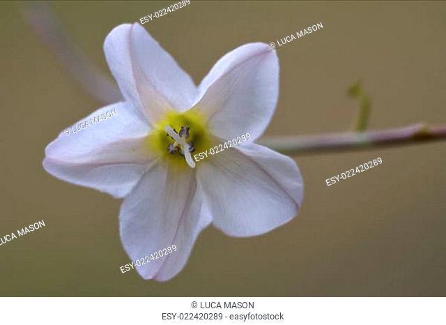 white silene alba