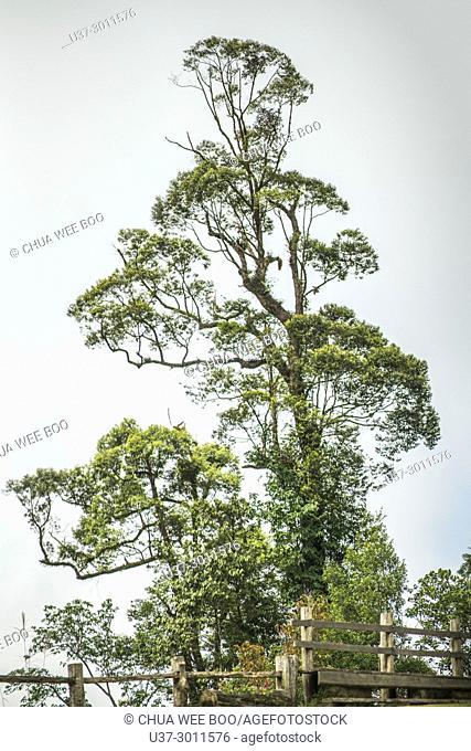 Trees in Borneo Highlands, Sarawak, Malaysia