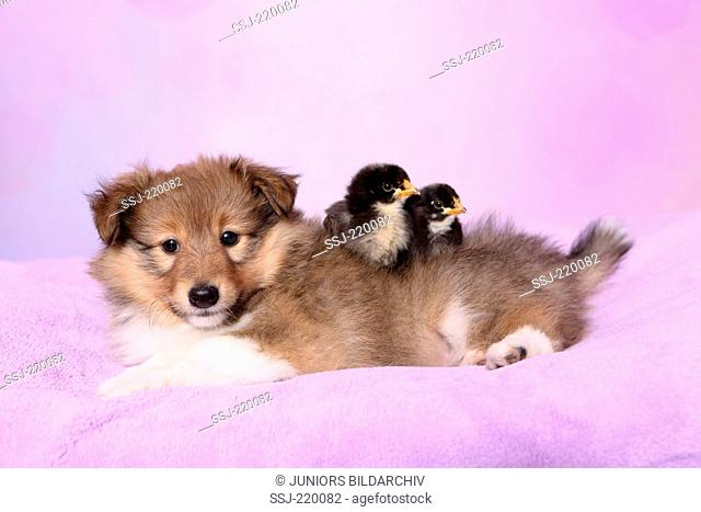 Shetland Sheepdog. Puppy (6 weeks old) lying on a pink blanket, with two chickens on its back. Studio picture against a pink background