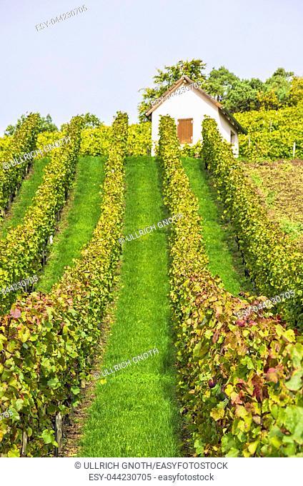 Vineyard in autumn near Kleingartach, in the Heilbronn region of Baden-Wurttemberg, Germany