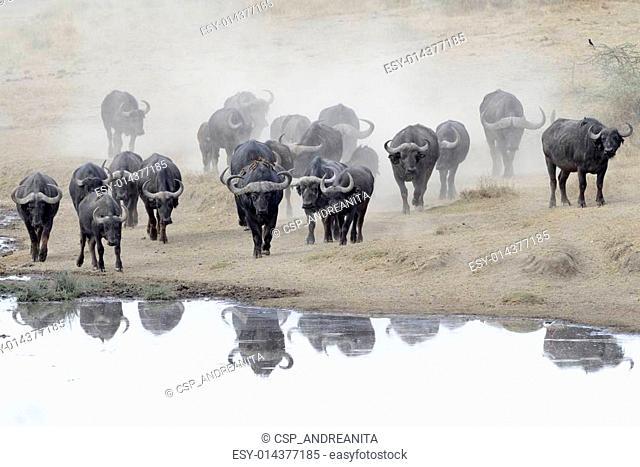 Buffalo herd going to drink