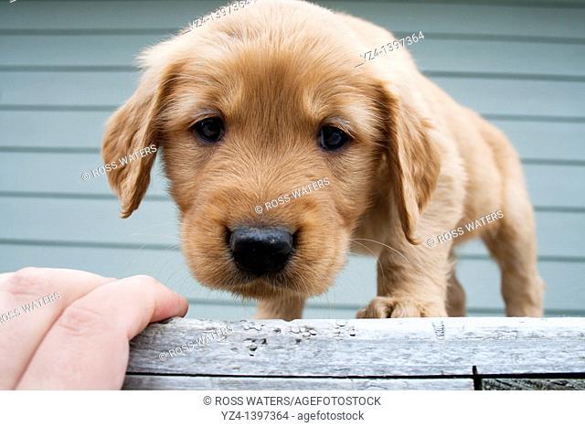 A six-week-old Golden Retriever puppy