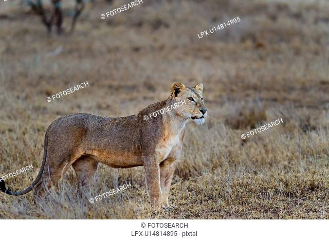 Close up side view of lioness with wet fur standing in dry grass, Lewa Downs, Kenya, East Africa