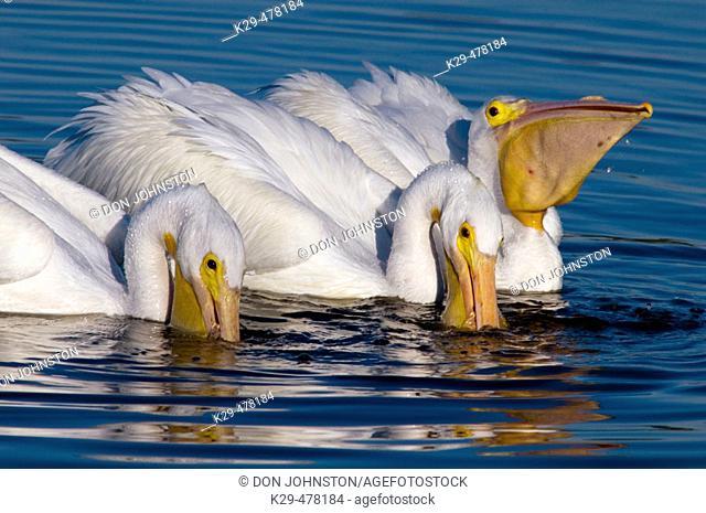 White pelican (Pelecanus erythrorhynchos) feeding in lagoon at low tide. Ding Darling NWR, Sanibel Is. FL, USA